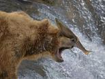 棕熊捕鱼失准被打脸