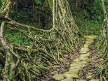 印度乞拉朋齐的树根桥